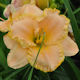 Image of An Old Fashioned Waltz daylily