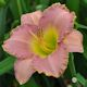 Image of Broken Hearted Melody daylily