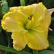 Smitten With You daylily