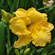 Image of Your Warming Embrace daylily